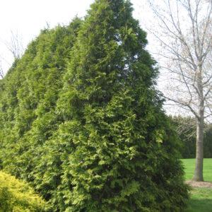 arborvitae-eligantissima-thuja-occidentalis