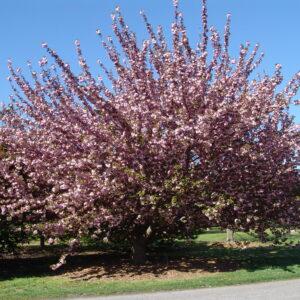 japanese-flowering-cherry-prunus-kanzan