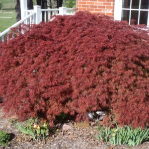 japanese-maple-crimson-queen-acer-palmatum-var-dissectum