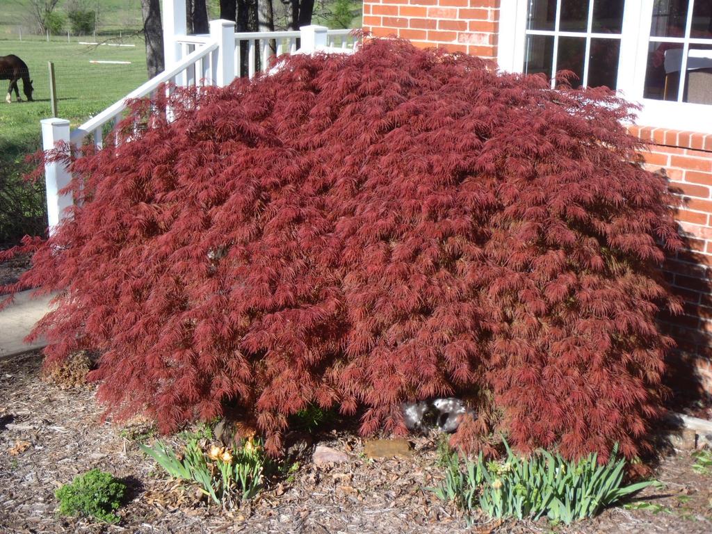 japanese-maple-crimson-queen-acer-palmatum-var-dissectum