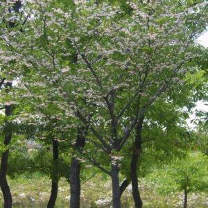 snowbell-styrax-japonicus