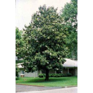 sweetbay-magnolia-magnolia-virginiana