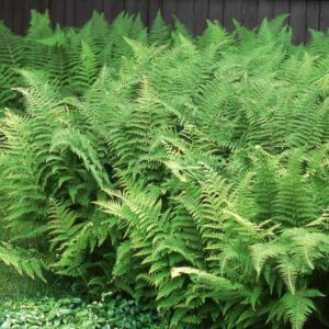 hay-scented-fern-dennstaedtia-punctilobula