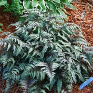 japanese-painted-fern-athyrium-niponicum-var-pictum