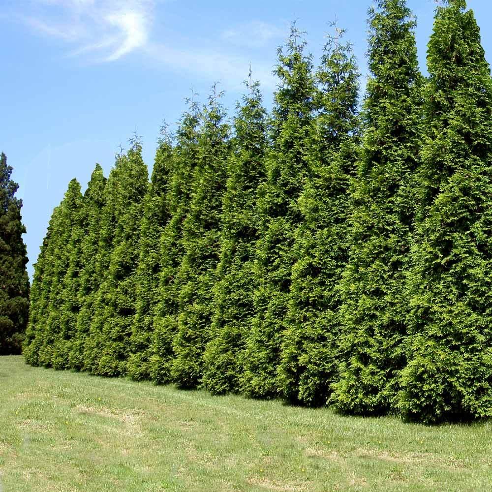 arborvitae-green-giant-fully-grown-thuja-plicata